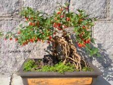 5050 Graines BIO Goji Lycium barbarum Goji-Berry Organic Chinese Wolfberry seeds