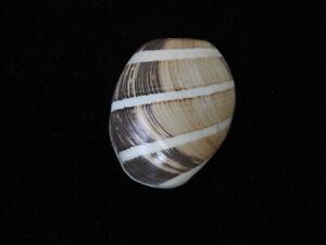 Sea shell Hidatina albocincta 36.2mm ID#6200