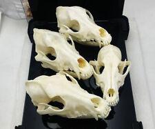 1pcs real Animal Skull specimen Collectibles Study Unusual Halloween AAA