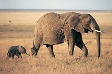 "African Elephants - Wildlife Animals Photo Art - Canvas Giclee Print 24"" x36"""