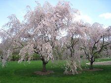 Higan Cherry Tree Seeds, Winter Flowering Cherry (Prunus subhirtella), 15 seeds