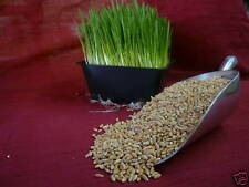 1gr. CANADIAN ORGANIC HARD RED WINTER WHEAT GRASS SEEDS (SPROUTING) WHEATGRASS