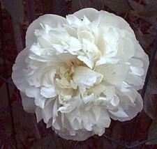weiße Pfingstrose Festiva Maxima, gefüllte Päonie duftend, kräftiges Wurzelstück