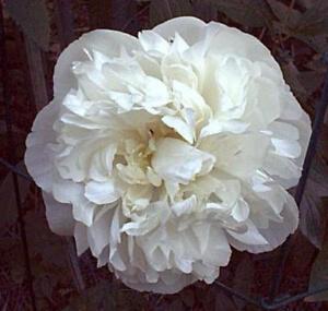 weiße Pfingstrose Festiva Maxima, gefüllte Päonie duftend, im Topf gewachsen