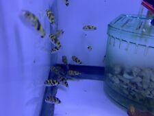 LIVE TROPICAL Fish~ Amazon Puffer fish (Colomesus asellus)