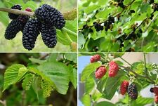 60+ Black Mulberry Tree Seeds (Morus nigra) Edible Fruit Sweet Shade Popular