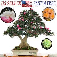 10 Mixed Camellia Seeds Garden Bonsai Courtyard Ornamental Plant Ornamental Home