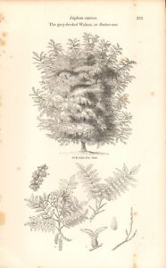1844 - ANTIQUE BOTANICAL PRINT - THE GREY BARKED WALNUT OR BUTTER NUT TREE