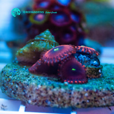 New listing Live Red People Eaters Zoanthid Lps Coral Frag (Saltwater)
