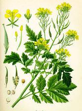 100 Semillas Mostaza Blanca (Brassica alba) seeds