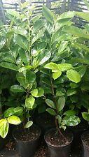 5 X CHERRY LAUREL PLANTS 30-50 CM 2 lt POT'S, EVERGREEN HEDGING TREES/SHRUBS
