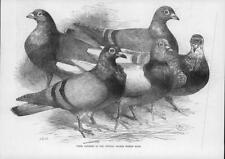 1872 Antique Print - BIRDS Crystal Palace Pigeon Race Prize Winner (47)