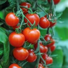TOMATO MOUNTAIN MAGIC F1 - 60 SEEDS - BULK -  BLIGHT RESISTANT