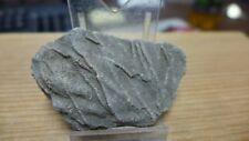 GEOLOGICAL ENTERPRISES Jurassic fossil crinoid  Pentacrinites fossilis  England