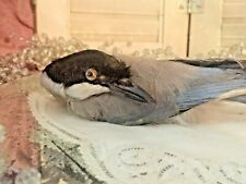 Rare Millinery Bird Real Feathers Glass Eye Taxidermy Ladies Hat Ornament Vtg