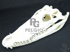 "PELGIO Real Freshwater Crocodile Skull Taxidermy Head 8"" with CITES Free Ship"
