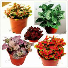 Fittonia Verschaffeltii Gardenperennial Seeds Plants Bonsai For 100pcs/bag