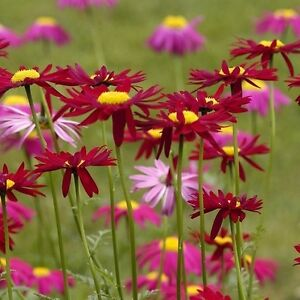 Tanacetum or Pyrethrum 'Robinson's Red' / Hardy Perennial / 200 Seeds