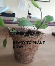 3 Red Cabbage 'Tinty' Plants in 9cm Coir Pots - Raised Peat free
