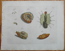 Jablonsky Original Colored Print Insect Beetle Anatomy  (e) - 1785