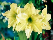 "Hippeastrum   ""LEMON LIME "" Amaryllis ____     BULBS"