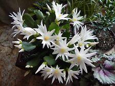 White Easter Cactus Cutting Segment Christmas Rhipsalidopsis Schlumbergera Plant