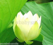 10Pcs Green Wave Lotus Seeds Water Lily Pad Nymphaea Nelumbo Nucifera Pond Plant