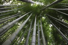 10 x MOSO BAMBOO - Phyllostachys Edulis Pubescens - Giant Hardy Bamboo Seeds
