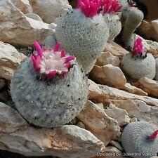epithelantha greggii 20 seeds!  rare cactus miniature seeds