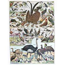 SCIENTIFIC BIRDS IDENTIFICATION OSTRICH PENGUIN FLAMINGO 30X40 CMS FINE ART PRIN