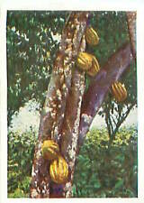 N°165 IMAGE CARD Kakaobaum Theobroma cacao cocoa tree Cacaoyer cacaotier 30s