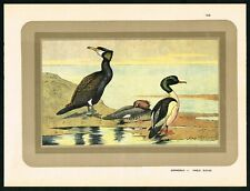 1933 Common Merganser Duck & Cormorant, Antique Ornithology Print - Manufrance
