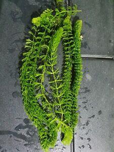 3 x (Ceratophyllum demersum)Hornwort - live aquarium pond plant LIVE Oxygenator