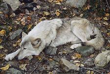 """The Fall Guy - Tundra Wolf"" Carl Brenders Fine Art Masterwork 40"" Giclee Canvas"