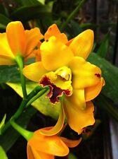 Rare orchid hybrid seedling - Potinara anchung yoyo
