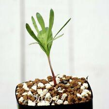 Eriospermum cervicorne Konaisako57135 MRO99