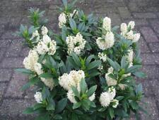 CHERRY LAUREL (Prunus Laurocerasus) 15+EXTRA fresh seeds!!!