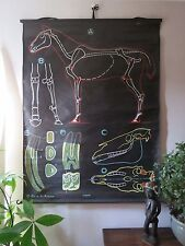VINTAGE DR AUZOUX SOUGY PULL DOWN SCHOOL WALL CHALK CHART OF A HORSE CHEVAUX