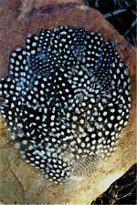 Natural Guinea Hen Pheasant Feather Pad     US Seller