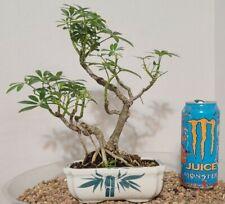 Old umbrella indoor bonsai No Reserve!