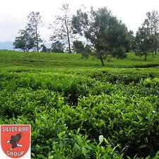 100g Ceylon GREEN TEA, Grüner Tee, Whole Leaf, Nuwara Eliya Sri Lanka