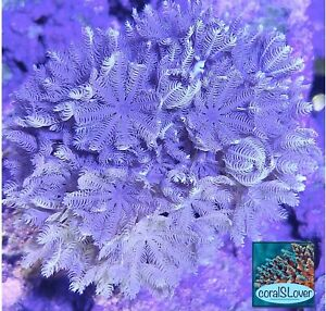 "live coral Red Sea Pulsing Xenia ""coralSLover"""