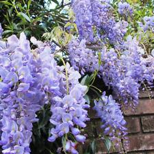 Wisteria Sinensis Blue Sapphire Lilac Wisteria 3L pot