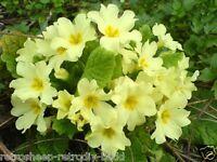5 PRIMULA VULGARIS WILD  PRIMROSE RARE COTTAGE FLOWER PLANTS ORGANIC PERENNIAL