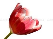 PHOTO NATURE PLANT FLOWER TULIP DEWDROP PINK PETALS DROPLET POSTER BMP10277