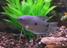 "Live Beginner Freshwater Fish - 2"" Blue (Three-Spot) Gourami - Hardy Community"