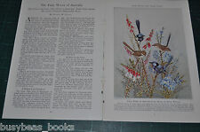 1945 magazine article FAIRY WRENS of AUSTRALIA, color art