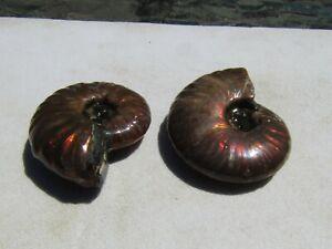 Wonderful Lot (2) Ammonite Fossils 29 Grams  Morocco