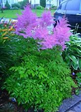 25+ ASTILBE CHINENSIS PURPLE AMETHYST COLORED  FLOWER SEEDS / PERENNAL