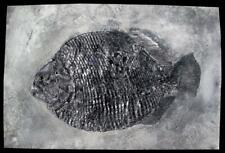 NSF- Replica Fossil Fish Dapedium Punctatum Jurassic Lyme Regis
